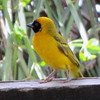 Speke's Weaver. Seen in Tanzania. Photo by Pat McCormack
