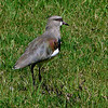 Southern Lapwing. South America.