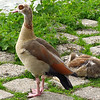 An Egyptian Goose. They are originally from the Nile Valley and south of the Sahara. We spotted this one on our walk in Rotterdam.