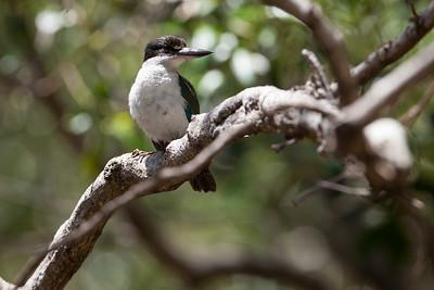Kingfisher - Wynnum Mangrove Boardwalk - Wynnum North Reserve - Birds; Wynnum North, Brisbane, Queensland, Australia; 17 October 2012. Photos by Des Thureson