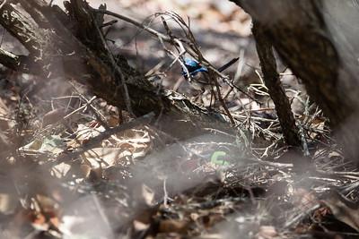 Male Superb Fairy Wren (Malurus cyaneus) - Wynnum North Reserve Circuit - Wynnum North Reserve - Birds; Wynnum North, Brisbane, Queensland, Australia; 17 October 2012. Photos by Des Thureson