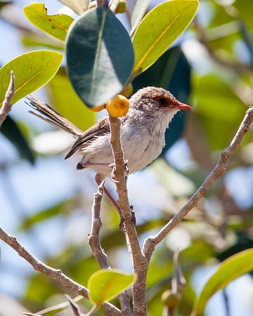 Fairy Wrens & a Kingfisher at Wynnum North Reserve & Mangrove Boardwalk, Brisbane. Photos by Des Thureson.