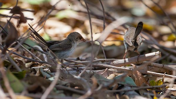 Female Fairy Wren - Wynnum North Reserve Circuit - Wynnum North Reserve - Birds; Wynnum North, Brisbane, Queensland, Australia; 17 October 2012. Photos by Des Thureson