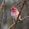 Male Purple Finch - My Yard Boone Co..- 11/6/11