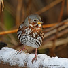 Fox Sparrow in the snow- 11/9/11 Boone Co.