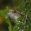 Yellow-rumped Warbler - My yard - 10/10/11