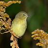 Orange-crowned Warbler- My yard- 10/10/11