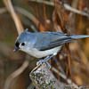 Tufted Titmouse - My Yard -  Boone Co. 11/6/11