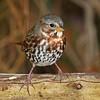 Fox Sparrow, Boone County- 10/25/11