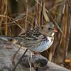 Harris Sparrow- Boone Co.- 11/13/11