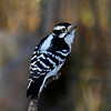 Downy Woodpecker - 11/8/11 Boone Co.