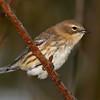 Yellow-rumped Warbler - My yard - 10/9/11
