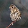 Pine Siskin in Boone Co - in a nice portrait pose - 11/7/2012