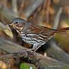 Fox Sparrow - 10-10-12