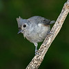 Tufted Titmouse - near my feeders, Boone Co, August 2012