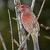 House Finch at my yard 11/6/12