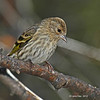 Pine Siskin in Boone Co - 11/6/2012