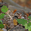 Fox Sparrow posed in Poison Ivy - 10/7/12