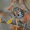 Fox Sparrow in nice pose - Boone Co- 10-11-12