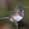 Oregon Group - Dark-eyed Junco (maybe younger male - not quite full color) My yard- 10-11-12