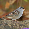 White-crowned Sparrow Boone County 10/8/12