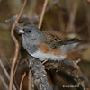 another view of Probable young male or dark female Oregon Junco- feathers blowing in strong wind<br /> 10/8/12