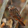Fox Sparrow Close-up 10/11/12