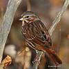 Fox Sparrow Close-up 10/11/12