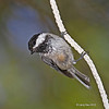 Black-capped Chickadee doing a rope act.  August 2012, Minong, WI