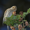 Pine Siskin at Fairmont Cemetery in Davenport Iowa on Hemlock cones