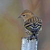 Pine Siskin in a kind of neat pose in my yard- 11/9/12