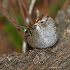 1st yr White-crowned Sparrow in my woods-10/7/12