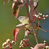 Nice view of a Orange-crowned Warbler - Boone Co- My yard -9/23/13