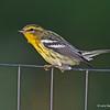 Blackburnian Warbler (1st year), Boone Co.- 8/25/13<br /> In my garden area.