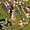 Orange-crowned Warbler eating a grub from inside a dogwood berry- Boone Co- My yard -9/23/13