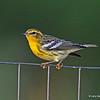 Blackburnian Warbler (1st year), Boone Co.- 8/25/13