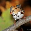 Harris's Sparrow in my yard.  11/8/13
