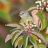 Nice Orange-crowned Warbler in Dogwoods - 9/24/13