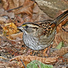 White-throated Sparrow in Boone Co.- 11/8/13