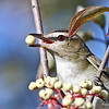 Closeup of Red-eyed Vireo eating Dogwood berries 9/3/13