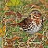 Fox Sparrow in Boone Co- 11/8/13