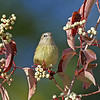 Another nice view of a Orange-crowned Warbler - Boone Co- My yard -9/23/13