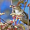 Hmmm- Yummy- Red-eyed Vireo in my yard eating Red Dosier Dogwood berries - Boone Co- 9/3/13