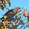 Townsend's Solitare eating dogwood berries in my yard- Boone Co- 9/22/13