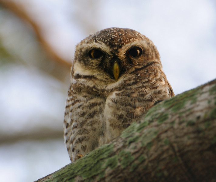 Spotted Owlet - Athene brama
