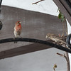 House Finches (male and female0