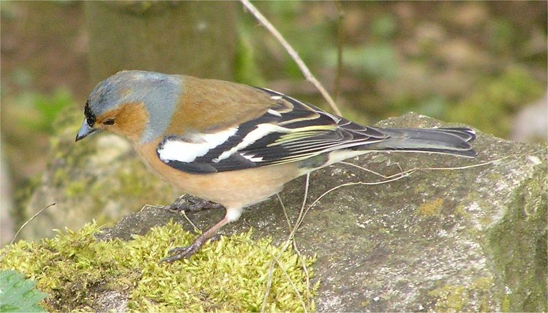 Chaffinch Cotswolds Mar 2005