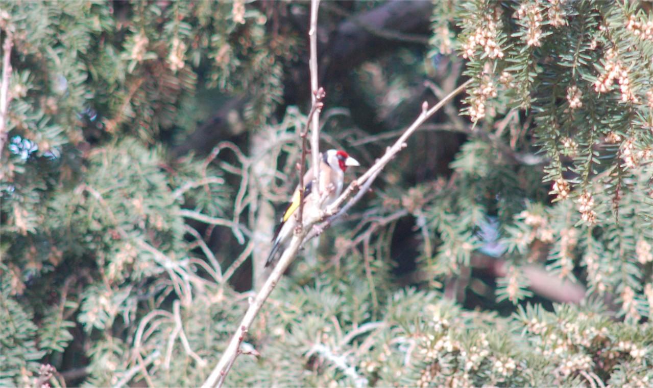 Goldfinch Newforest Mar 2007