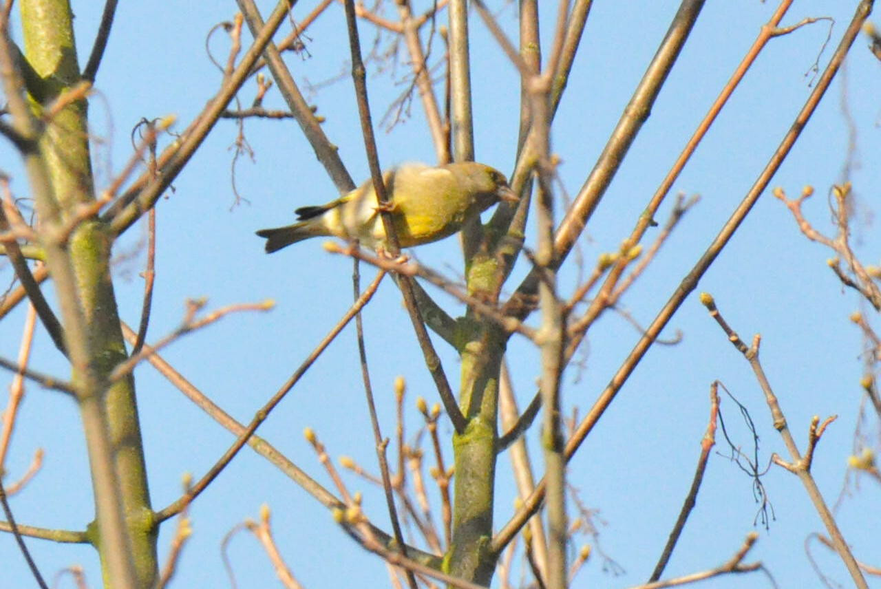 Greenfinch Marlow March 2011