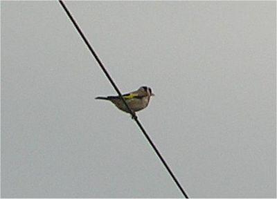Goldfinch Chilterns June 2005